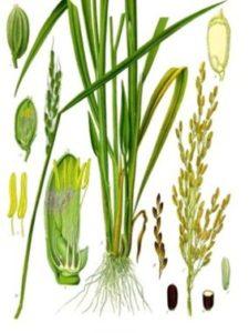 Rice bran oil emollient carrier